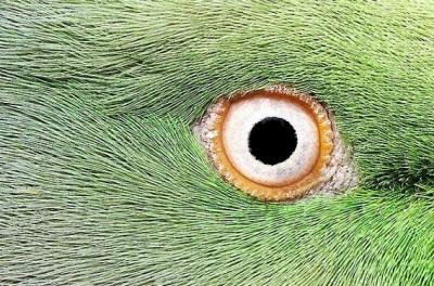 オウムの目玉
